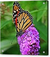 Monarch On A Butterfly Bush Acrylic Print