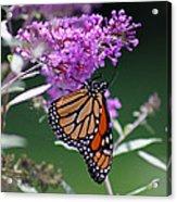 Monarch On Butterfly Bush Acrylic Print
