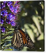 Monarch On Purple Flower Acrylic Print
