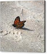 Monarch On The Beach Acrylic Print