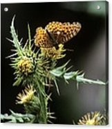 Monarch On Thistle Acrylic Print