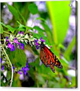 Monarch With Sweet Nectar Acrylic Print