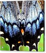 Monarchs Blue Glow Acrylic Print by Kim Galluzzo Wozniak