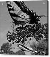 Swallotail In Black And White Acrylic Print