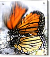 Monarchs In Love Acrylic Print