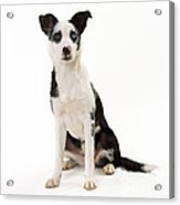 Mongrel Dog, Border Collie Cross Acrylic Print
