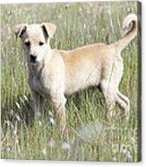 Mongrel Dog Puppy Acrylic Print