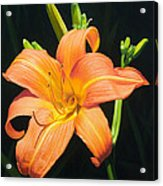Monikas Orange Lily Acrylic Print