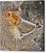 Monkey Playing With Tail Acrylic Print