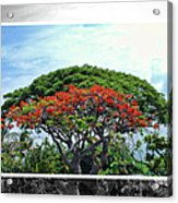 Monkey Pod Trees - Kona Hawaii Acrylic Print