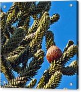 Monkey Puzzle Tree B Acrylic Print