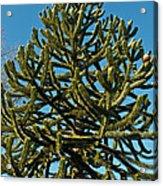 Monkey Puzzle Tree E Acrylic Print