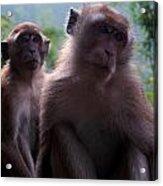 Monkey's Attention Acrylic Print
