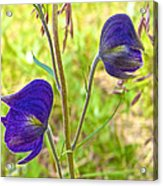 Monkshood On Alpine Tundra Trail At  Eielson Visitor's Center In Denali Np-ak  Acrylic Print