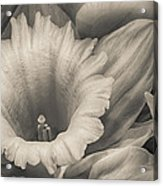 Mono Daffodil Acrylic Print