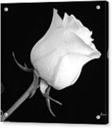 Monochrome White Rose Acrylic Print
