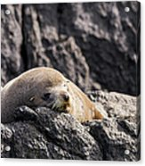 Montague Island Seal Acrylic Print