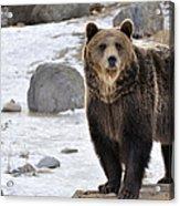 Montana Grizzly  Acrylic Print by Fran Riley