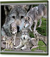 Montana Wolf Pack Acrylic Print