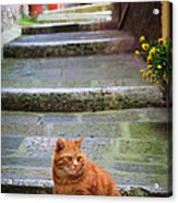 Montepulciano Cat Acrylic Print
