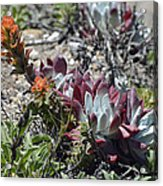 Monterey Indian Paintbrush And Ice Plant Acrylic Print by Bruce Gourley