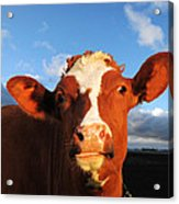 Moo Don't Say Cow Acrylic Print