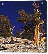 Moon And Bristlecone Pines Acrylic Print