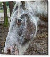 Moon Eyed Horse Acrylic Print