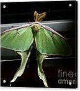 Moon Moth Acrylic Print