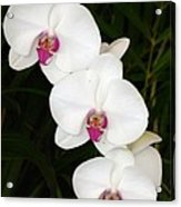 Moon Orchid With Purple Center Acrylic Print