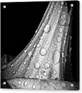 Moonflower And Rainwater  Acrylic Print