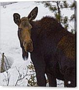 Moose   #1612 Acrylic Print
