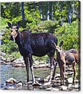 Moose And Baby 4 Acrylic Print