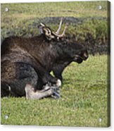 Moose At Rest Acrylic Print