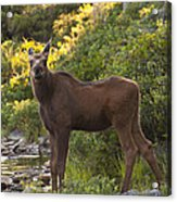 Moose Baby Sniffing Morning Air Acrylic Print