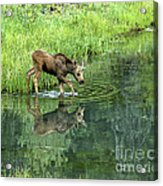 Moose Calf Testing The Water Acrylic Print