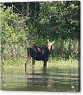 New Hampshire Grazing Cow Moose  Acrylic Print