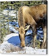 Moose Connection Acrylic Print