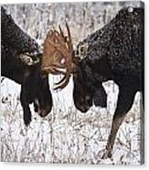 Moose Fighting, Gaspesie National Park Acrylic Print by Nicolas Bradette