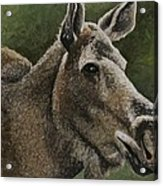 Moose II Acrylic Print