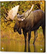 Moose In Glacial Kettle Pond  Acrylic Print