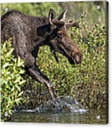 Moose Makes A Splash Acrylic Print by Paul W Sharpe Aka Wizard of Wonders