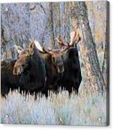 Moose Meeting Acrylic Print