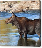 Moose On The  Gros Ventre River Acrylic Print