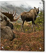 Moose Pair On Anchorage Hillside Acrylic Print