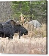 Moose Pictures 75 Acrylic Print