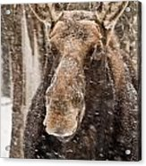Moose Pictures 88 Acrylic Print