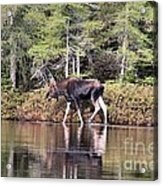 Moose_0586 Acrylic Print