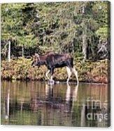 Moose_0587 Acrylic Print