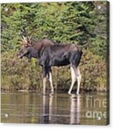 Moose_0596 Acrylic Print